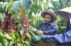 MoIT seeks ways to boost coffee exports