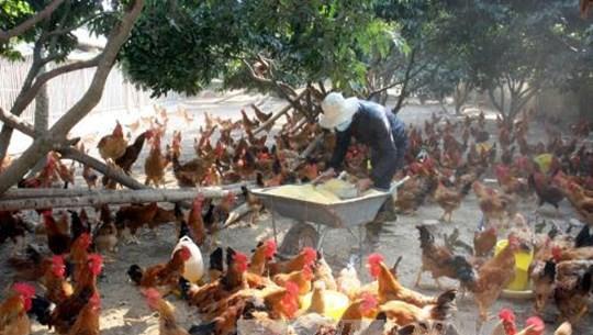 提高安世山鸡质量 走向世界市场