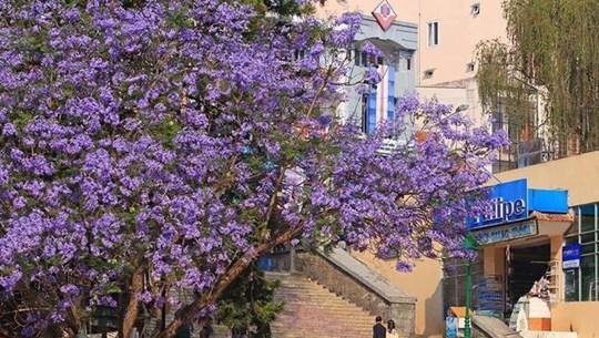 大叻市街头蓝花楹盛开 景色迷人成为一道美丽风景