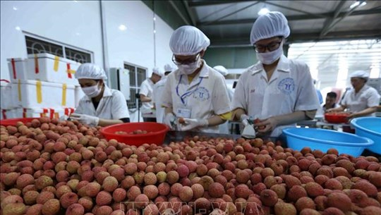 越南荔枝正式进军新加坡市场